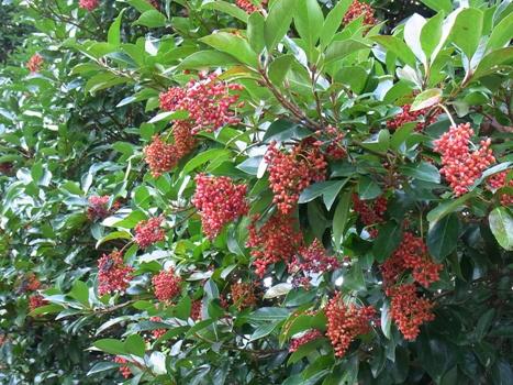 きれぎれの風彩 「サンゴジュの赤い実」