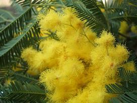 kore mimoza