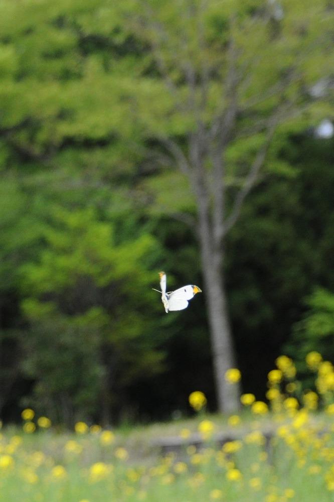 ツマキチョウ 2011.04.30 1436