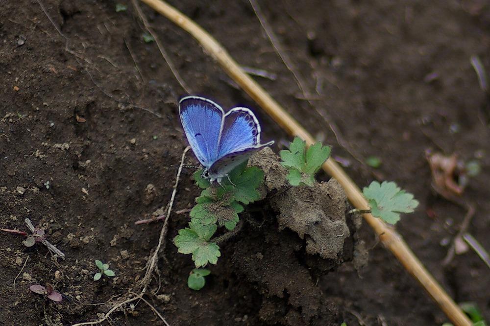 オオルリシジミ 2011.04.30 1259