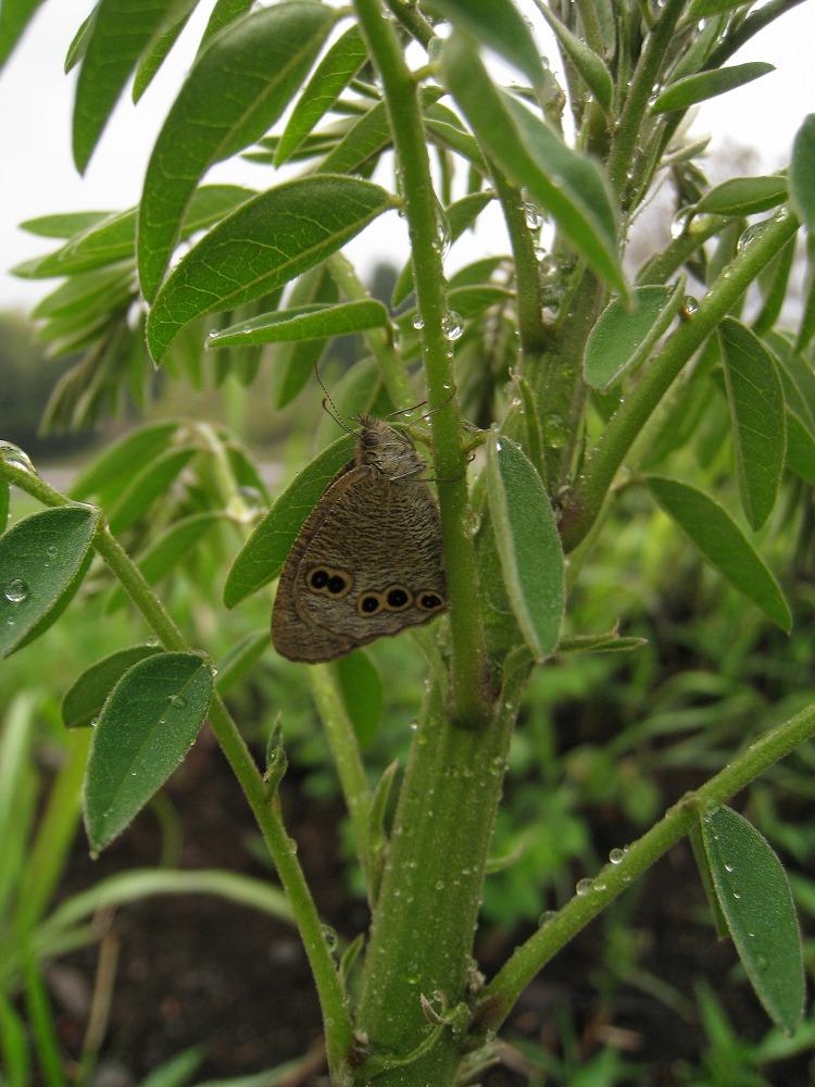 ヒメウラナミ&クララ 雨宿り 2011.04.30