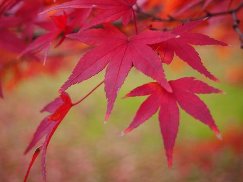 紅葉...後楽園6