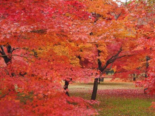 紅葉...後楽園8