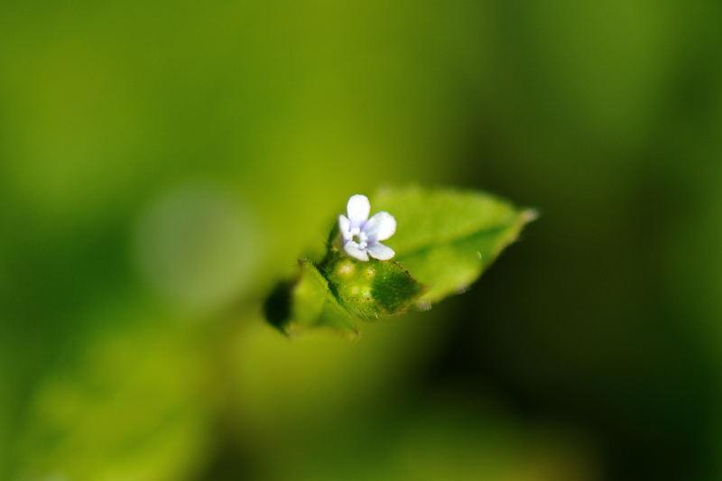 ハナイバナ(葉内花)