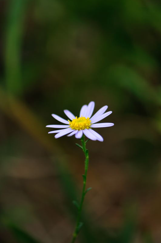ホソバアレノノギク(細葉荒野野菊)