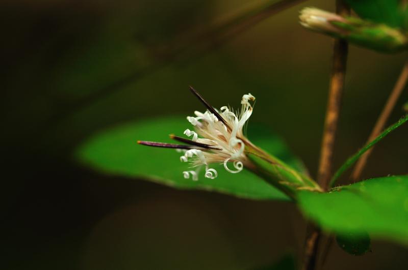 ナガバノコウヤボウキ(長葉の高野箒)