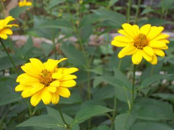 黄色野花1