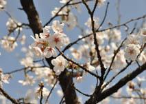 白州花見3