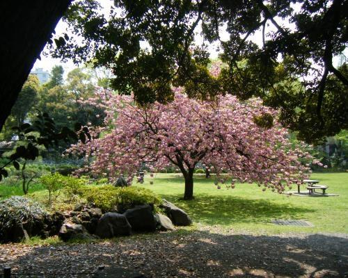 清澄庭園 桜3
