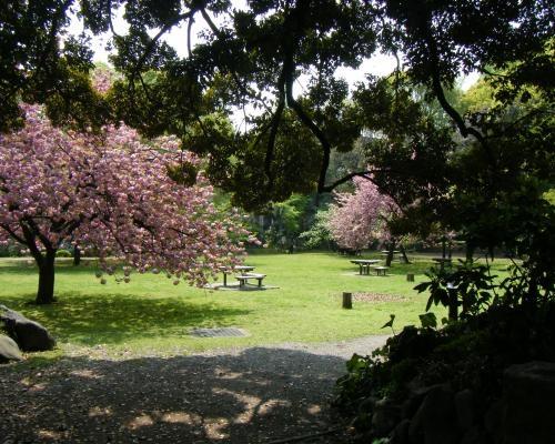清澄庭園 さくら.4
