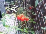 庭でトマト