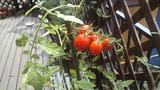 庭でミニトマト2