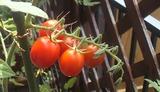 庭でトマト4