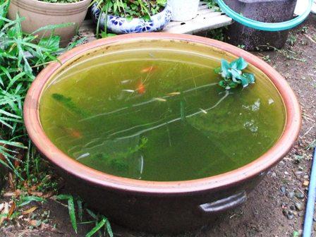 2011.5.10 金魚たち 030