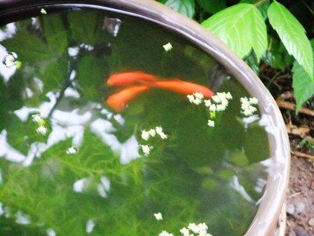 2011.5.10 金魚 026