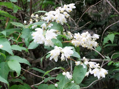 2011.5.20 山の白花 001 (6)