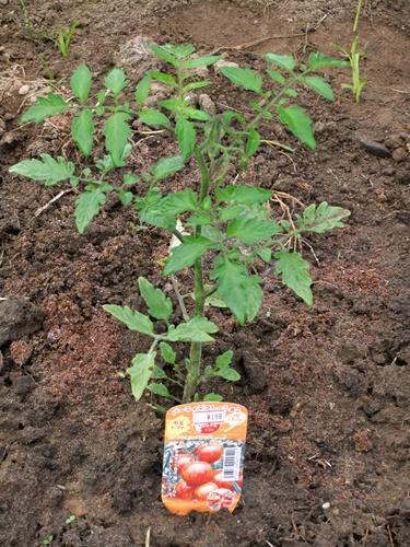 2011.5.31 ハウスのトマト 013