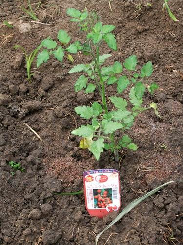 2011.5.31 ハウスのトマト 012