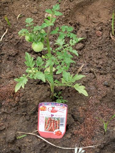 2011.5.31 ハウスのトマト014