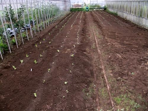 2011.6.20 レタス植え付け  022
