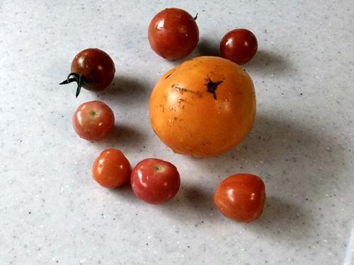 2011.6.24 トマト収穫 003 (1)