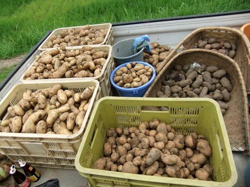 2011.6.25 ジャガイモ収穫 003 (4)