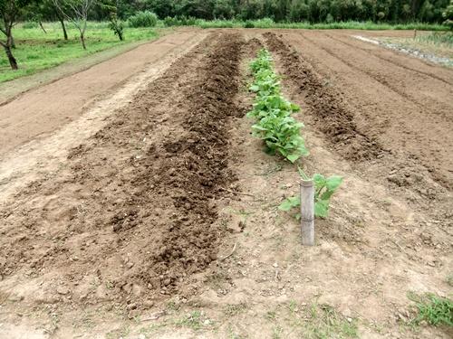 2011.6.26 ジャガイモ収穫後 003 (5)