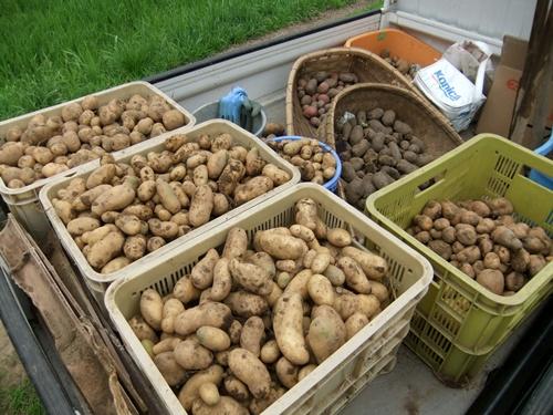 2011.6.25 ジャガイモ収穫 003 (3)
