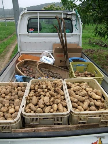 2011.6.25 ジャガイモ収穫 003 (2)