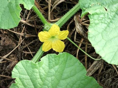2011.7.4 メロンの花 035