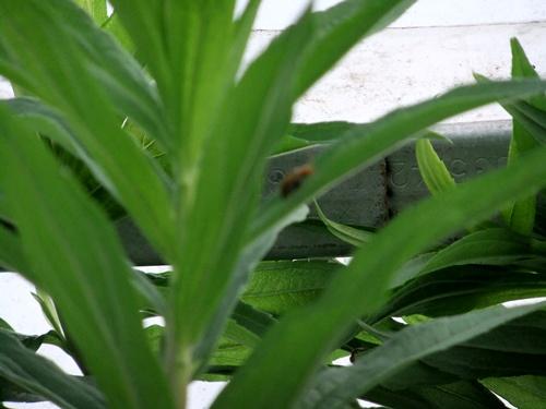 2011.7.8 ウリバエ 028