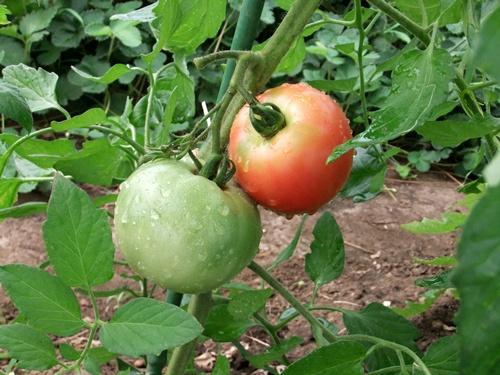 2011.7.9 色々トマト達 009