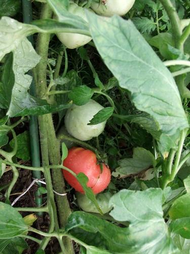 2011.7.9 色々トマト達 018