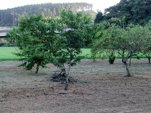 2011.7.10 隣の果樹園 008