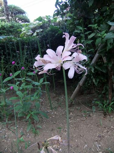 2011.8.14 庭に咲く花 011 (3)