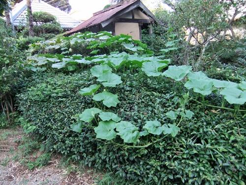 2011.8.14 庭に咲く花 011 (2)