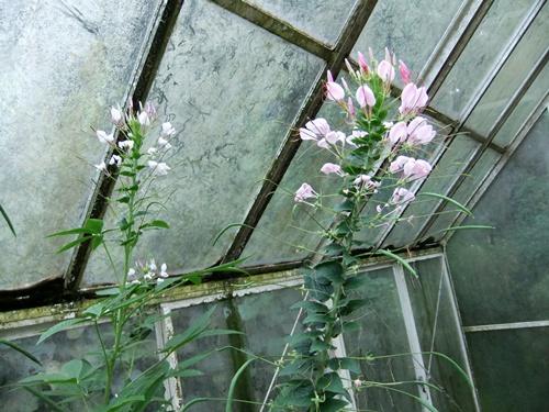 2011.8.14 庭に咲く花 011