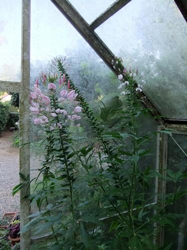 2011.8.14 庭に咲く花 011 (1)
