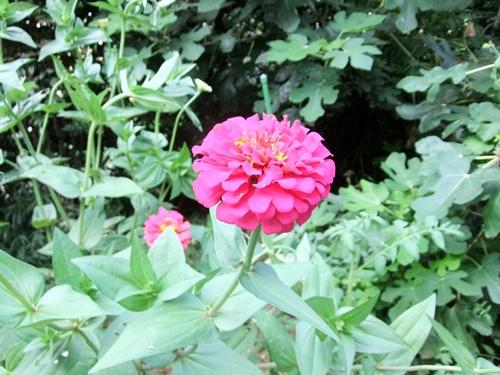 2011.8.14 庭に咲く花 011 (7)