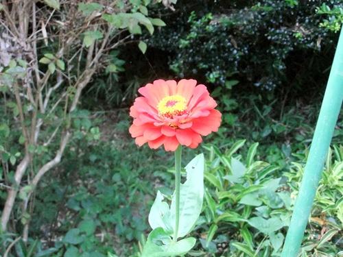 2011.8.14 庭に咲く花 011 (9)