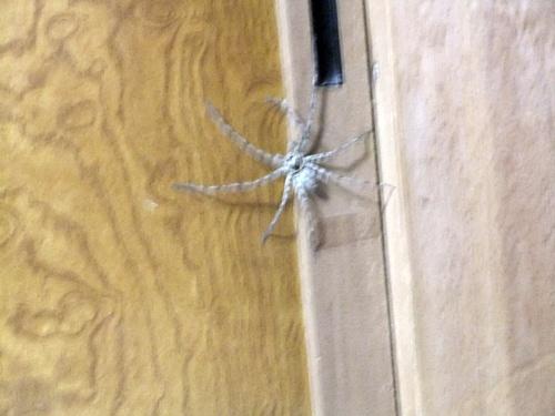 2011.9.8 我が家の蜘蛛 023