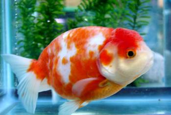 2011.10.31深見養魚場産金魚画像 (9)