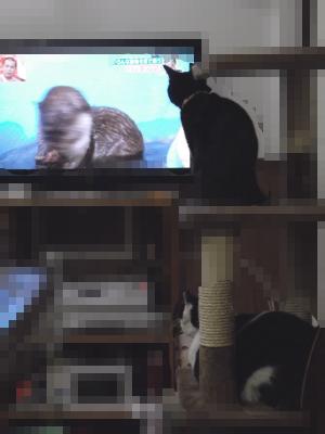 テレビを見る猫サンたち