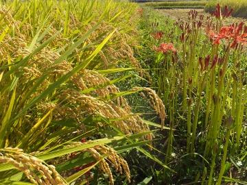 26年れんげ米稲刈り3