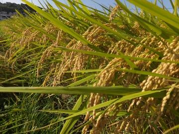 26年れんげ米稲刈り8