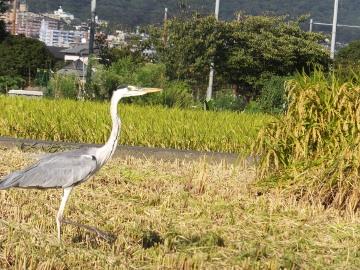 26年れんげ米稲刈り10