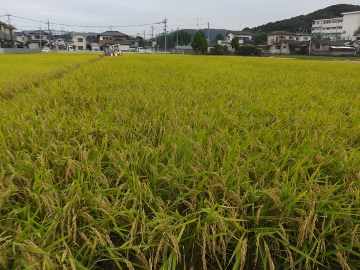 れんげ米稲刈り第二弾