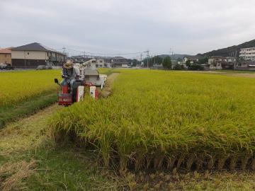 れんげ米稲刈り第二弾2