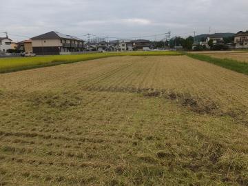 れんげ米稲刈り第二弾4
