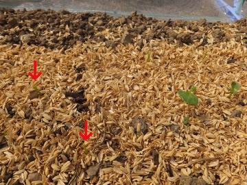 大根芽がピンチ2
